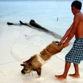 Fiesta del cerdo en San Blas al estilo Kuna, Panamá.