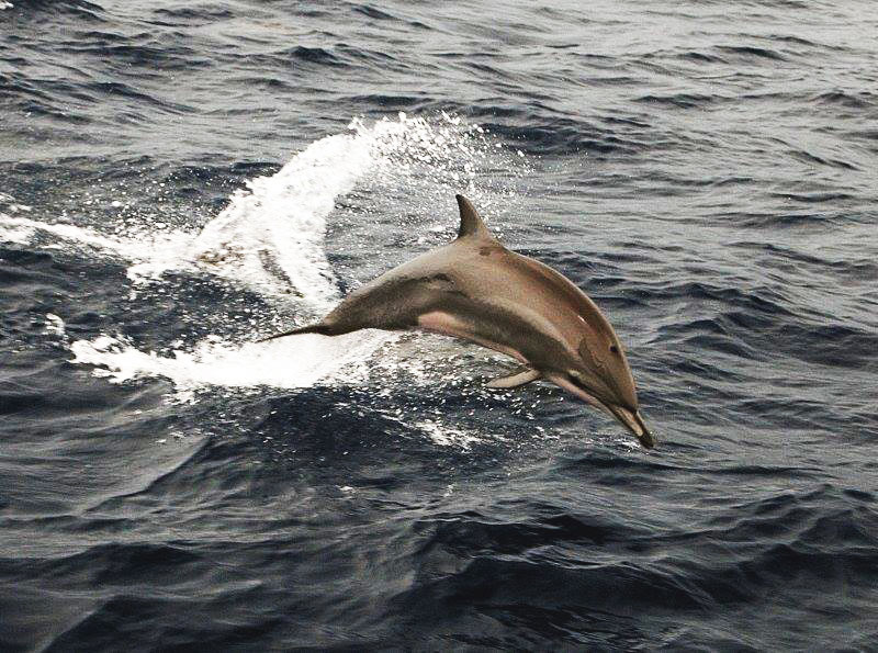 Delfines travesía Velero Ju San Blas