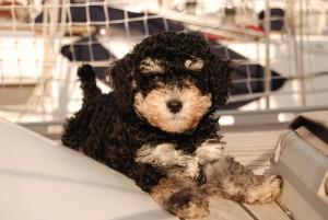 dog sailor